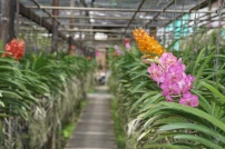 Orchid Farm (2)